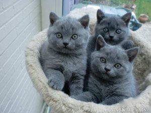 thiến và triệt sản cho mèo