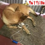 Dịch vụ chữa bệnh care & parvo cho chó mèo tại nhà ở Hà Nội
