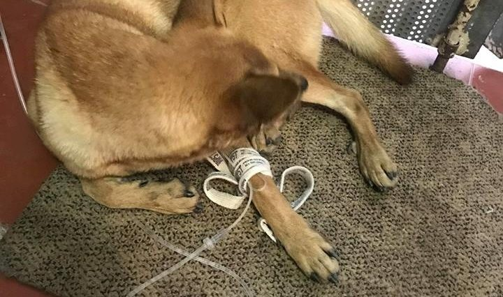 dịch vụ chữa bệnh care & pravo cho chó tại nhà ở hà nội