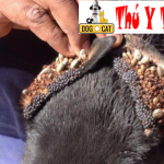 Bệnh bọ chét kí sinh ở chó mèo