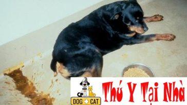 bệnh care ở chó (bệnh sài sốt)