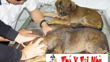 bệnh giun móc ở chó