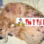 Bệnh mò bao lông trên chó