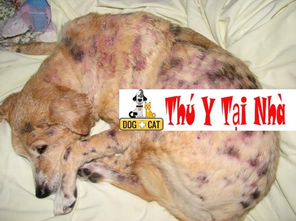 bệnh mò bao lông ở chó