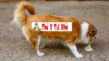 bệnh viêm ruột ở chó