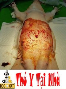 vệ sinh thật sạch chó mèo mẹ để chuẩn bị phẫu thuật