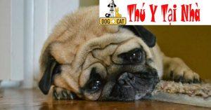 Một chú chó con bị mắc bệnh Care & Pravo