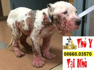 chó bị ghẻ máu demodex