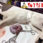 Dịch Vụ Triệt sản Thiến Cắt Tai Tắt Đuôi Chó Mèo Tại Hà Nội