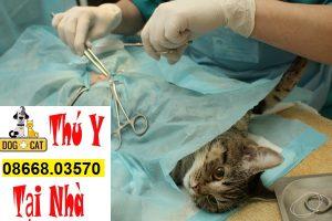 hình ảnh triệt sản một bé mèo cái tại nhà hà nội