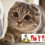 Làm thế nào để xác định mèo có thuần chủng hay không ?