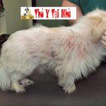 Dịch vụ chữa bệnh ghẻ , viêm da , demodex, ve, rận sùi mào gà và các bệnh ngoài da ở chó mèo tận nhà