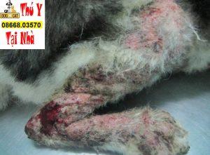 chó mèo bị ghẻ & viêm da và nấm da