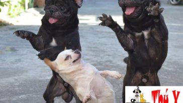 xử lý chó bị sốc nhiệt
