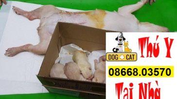 Mổ đẻ và chăm sóc vết mổ cho chó mèo