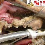 Lấy cao răng chó mèo tại nhà – dịch vụ thú y tận nhà cho khách hàng ít thời gian