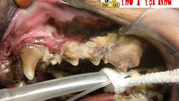 Lấy cao răng chó mèo tại nhà - dịch vụ thú y tận nhà cho khách hàng ít thời gian