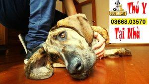 hình ảnh một chú chó bị tụt canxi dẫn đến ngất xỉu