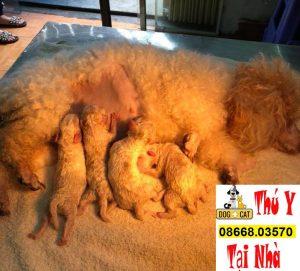 mổ đẻ chó poodle thành công và chăm sóc chó mẹ