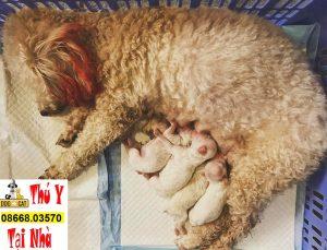 đỡ đẻ cho chó Poodle mẹ