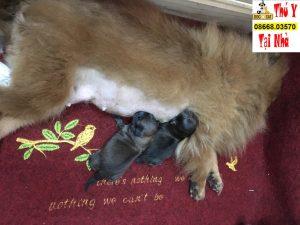 chăm sóc chó mẹ thời kì sinh nở