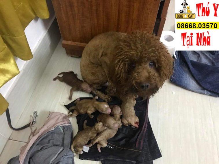 kinh nghiệm đỡ đẻ mổ đẻ chó poodle từ a đến z