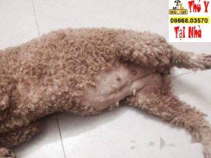 Hình ảnh một chú chó Poodle đang chửa