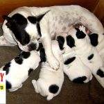 Tại sao chó Bull Pháp Bulldog & Bully nhất thiết phải mổ đẻ