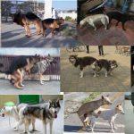 phối giống và đỡ phối chó cảnh các dòng uy tín tại hà nội