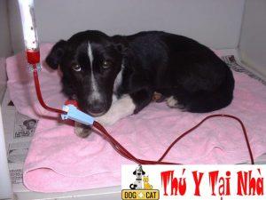 hình ảnh một chú chó mắc bệnh parvo đang được tiêm truyền