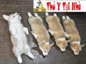 dự đoán ngày sinh của chó corgi