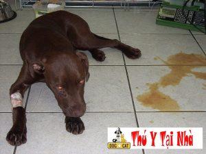 phương pháp điều trị bệnh chó ỉa ra máu nôn bỏ ăn