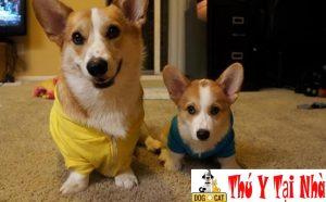 chăm sóc chó corgi mẹ & chó corgi con trước và sau sinh