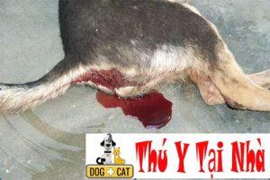 chó mèo bị đi ỉa ra máu là mức độ rất nguy hiểm của bệnh