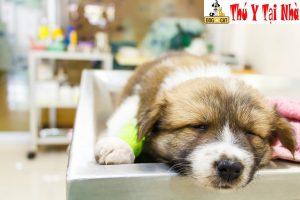 Điều trị bệnh parvo cho chó cần kết hợp nhiều biện pháp