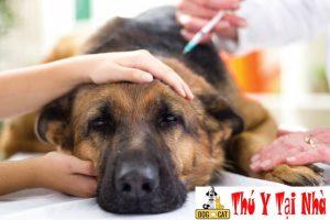 tiêm phòng là cách phòng bệnh care & parvo hiệu quả nhất cho chó mèo