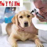 chó bị ốm bỏ ăn mệt mỏi nên làm gì