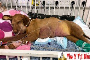 Một số dấu hiệu nhận biết chó bị ốm bỏ ăn mệt mỏi