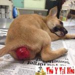 Chó mèo bị lòi dom trĩ nội trĩ ngoại phải làm sao ?