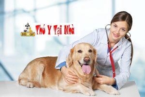 Bác sĩ thú y đang chăm sóc một chú chó Golden