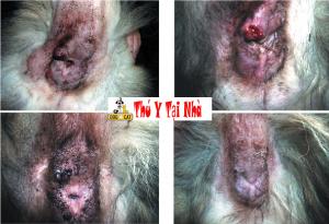 Các dấu hiệu của bệnh lòi dom trĩ nội trĩ ngoại ở chó mèo