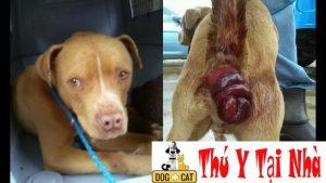 một chú chó bị lòi dòm trĩ mức độ nặng đang được điều trị tích cực