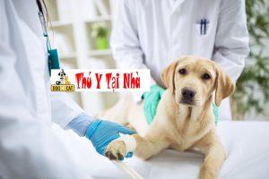 Điều Trị Bệnh Lòi Dom Trĩ Nội Trĩ Ngoại ở chó mèo
