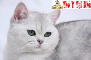 Bệnh giảm bạch cầu ở mèo không phải là không có cơ hội khỏi hoàn toàn