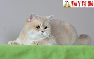 bệnh giảm bạch cầu ở mèo la gì