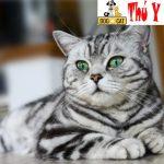 Chữa bệnh giảm bạch cầu cho mèo như thế nào ?