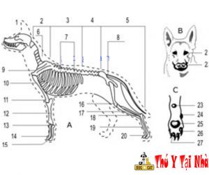 Cấu tạo bộ xương chó