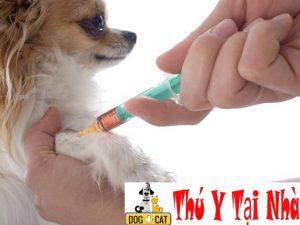 tiêm hoặc cho uống kháng sinh theo chỉ định của bác sĩ thú y